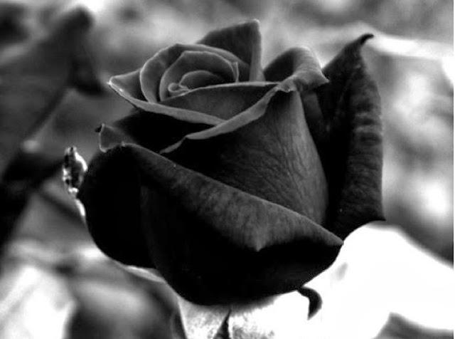 Black Rose Wallpapers Free Download