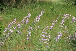 photo of beardtongue in bloom