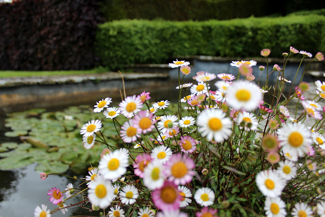 daisies-pond-water-lilies-kingston-maurward-todaymyway.com