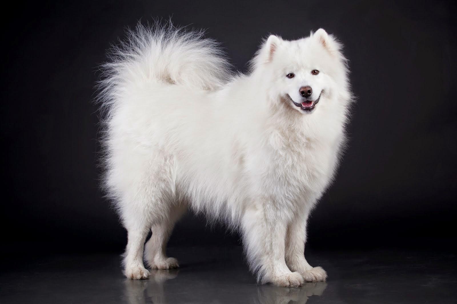 El Perro Samoyedo