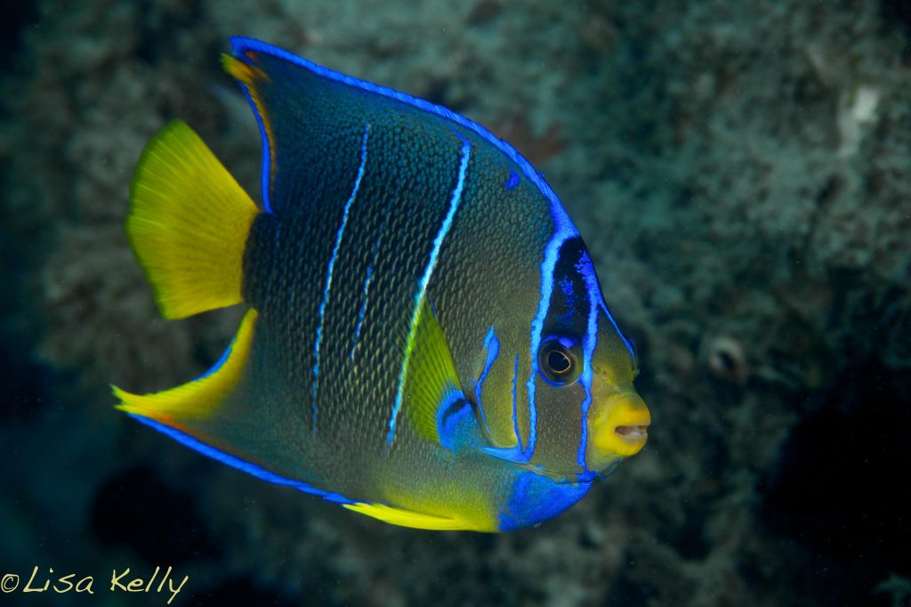 Juvenile Queen AngelfishQueen Angelfish