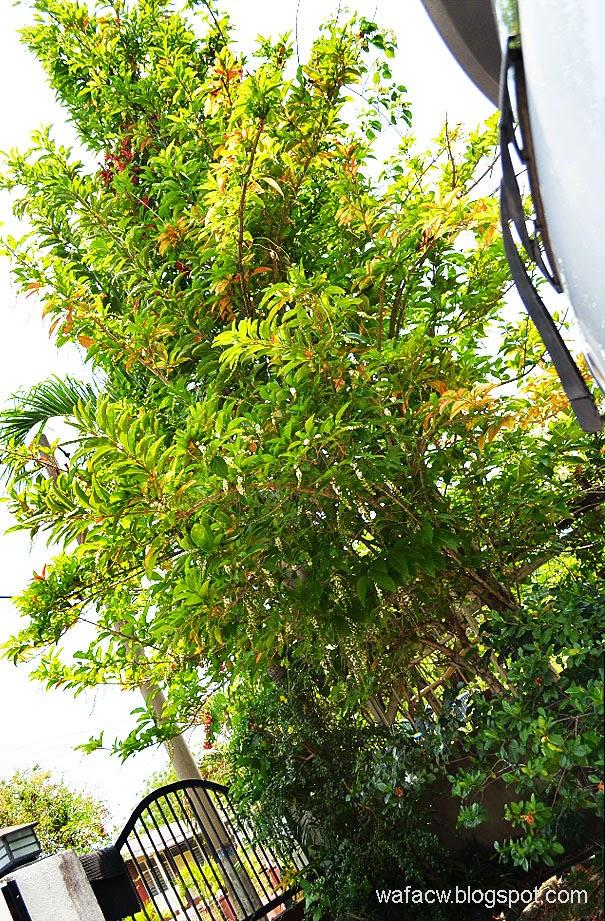 Pokok Bunga Mayang Sari