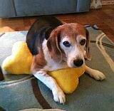 Bodie&#39;s Beagles Blog