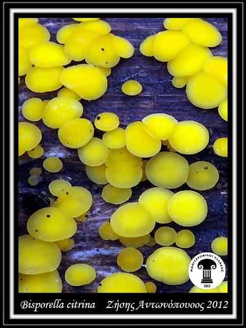 Bisporella citrina (Batsch) Korf & S.E. Carp.