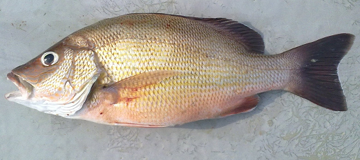 Yellow Streaked Snapper