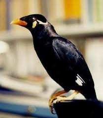 Burung Beo