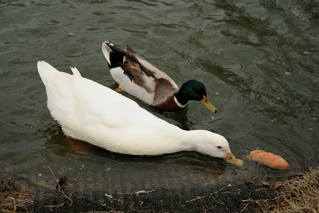white duck and mallard
