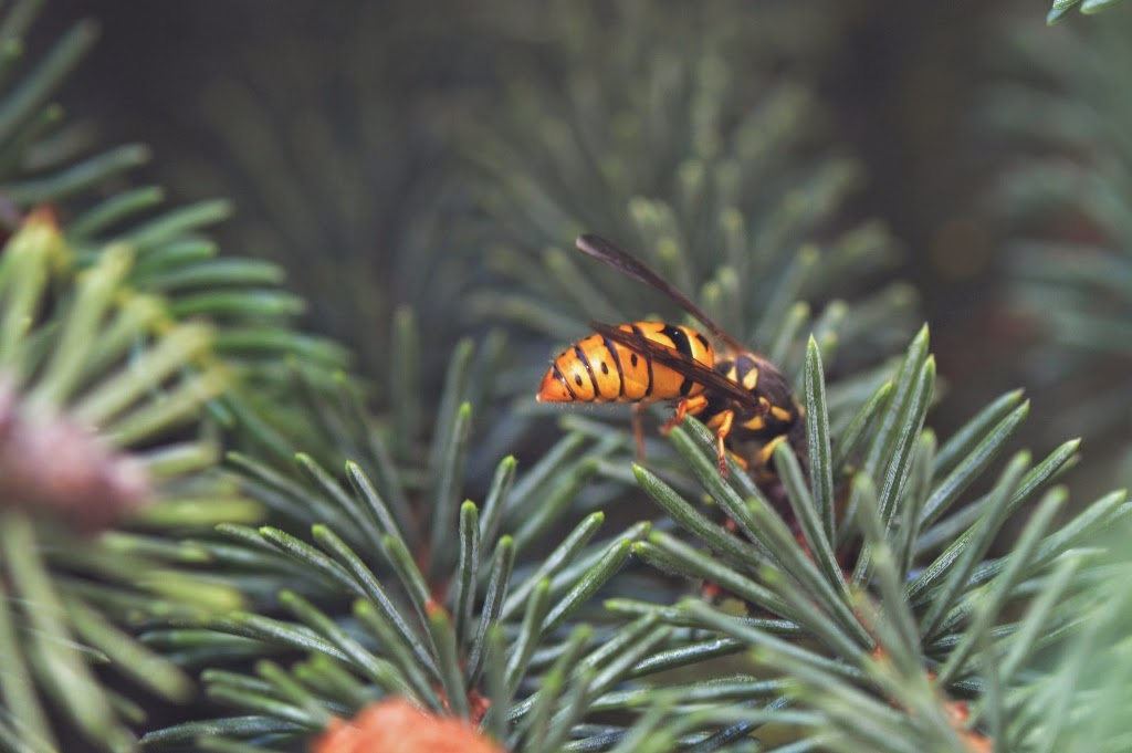 Yellow jacket feeding on Spruce Bud Scale honeydew
