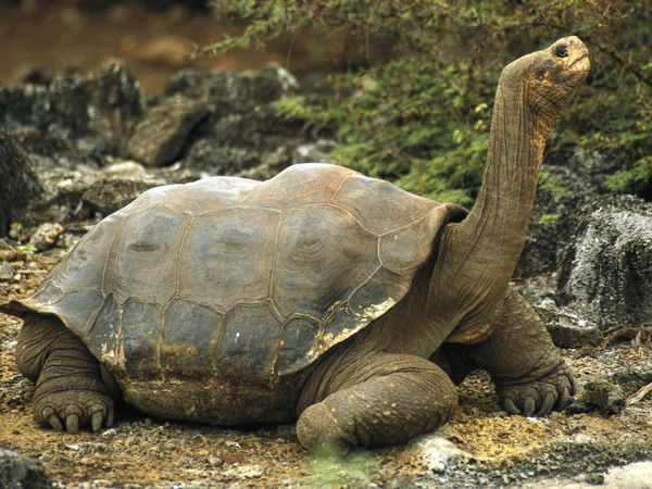 Galpagos Tortoise
