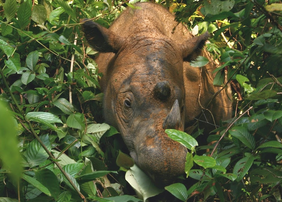 Sumatran_Rhinoceros_Way_Kambas_2008.jpg#mediaviewer/File:Sumatran_Rhinoceros_Way_Kambas_2008.jpg
