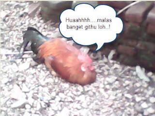 Ayam malas