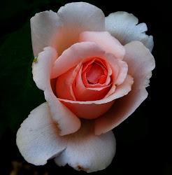 Rose at UT