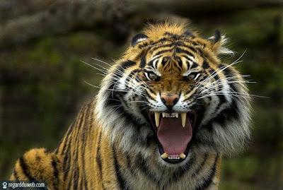 Photos droles et étranges Animal - Tigre v63