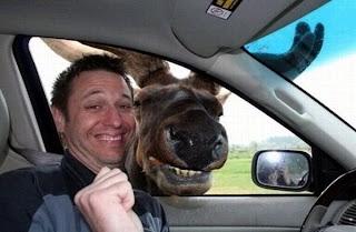 Elch grinst ins Auto