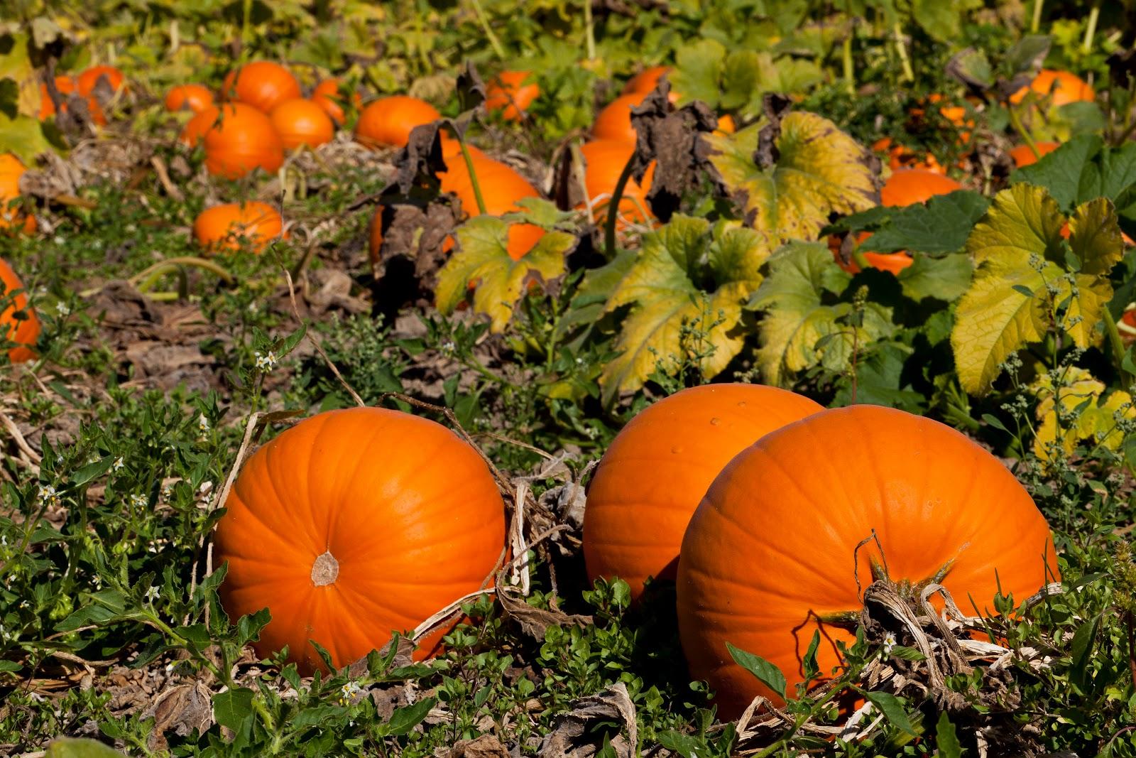 Dru stefan stone october 2012 pumpkin patch desktop wallpaper photography desktopwallpaper - Fall wallpaper pumpkins ...