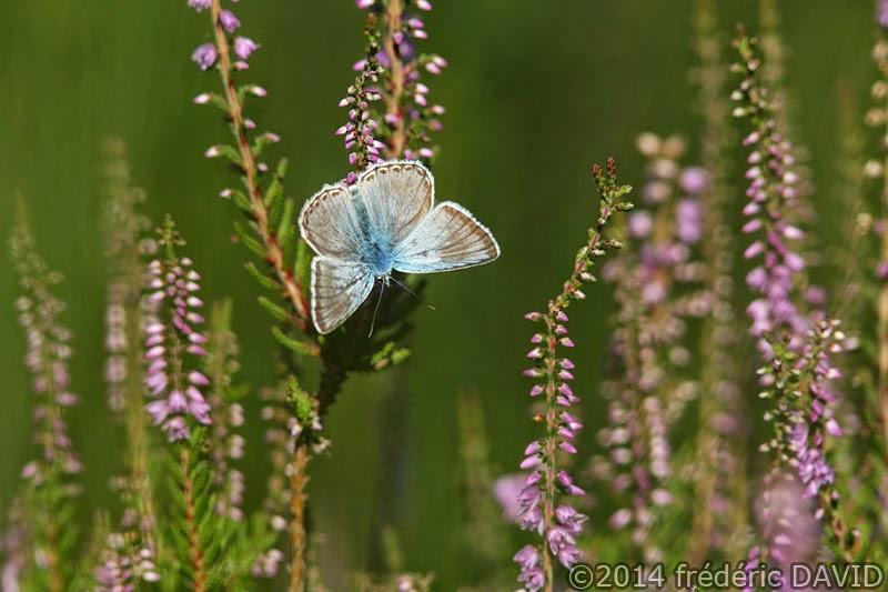papillon animaux azuré commun forêt Fontainebleau Seine-et-Marne