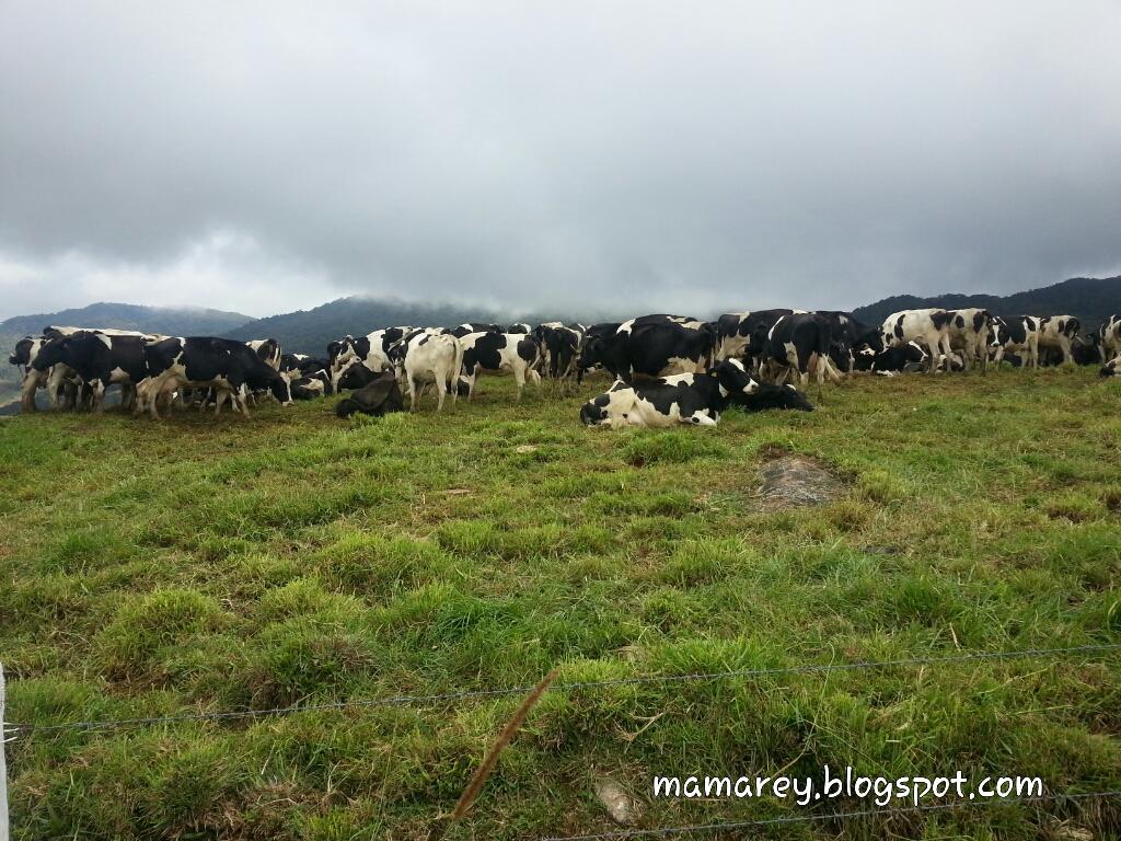 Desa Cattle ,Mesilau ,Kundasang