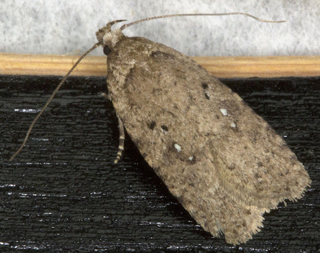 Agonopterix species (might be A. scopariella, A. heracliana or a couple of others; needs microscopic examination).  Micromoth.  In my house in Hayes in the evening. 24 February 2012.