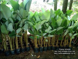 Jual Pohon Pisang Kalatea Murah | Heliconia Calatea