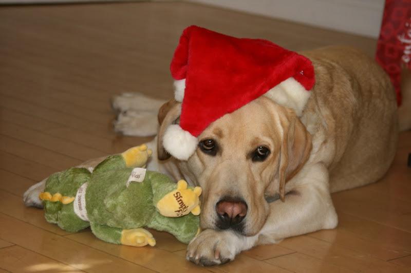 Santa hat Labrador