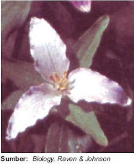 Bunga tumbuhan monokotil