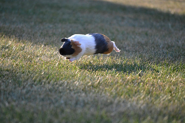 funny animals, flying guinea pig