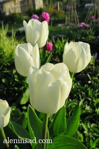 сорта тюльпанов, тюльпан, аленин сад, весенние луковичные, белые тюльпаны