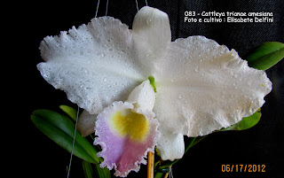 "Cattleya trianaei  ""amesiana"" do blogdabeteorquideas"