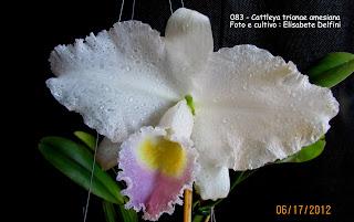 "Cattleya trianaei  ""amesiana"" do blogdabeteorquideas"