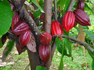 Paquete tecnológico para el cultivo de cacao