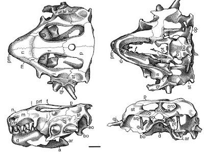Hypsoganthus skull