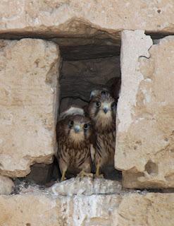 Pöllöt, Palma de Mallorca, 4.7.2011
