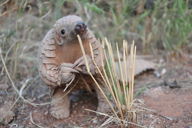Funny animals of the week - 10 January 2014 (35 pics), baby pangolin