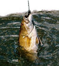 Washington college news do fish feel pain afraid so for Do fish feel pain