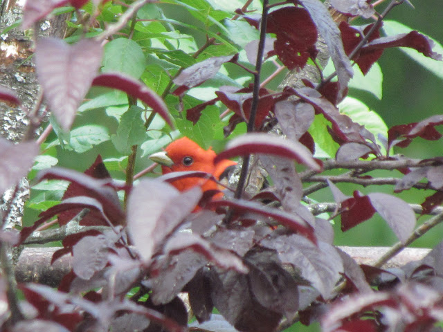 scarlet tanager shows his face