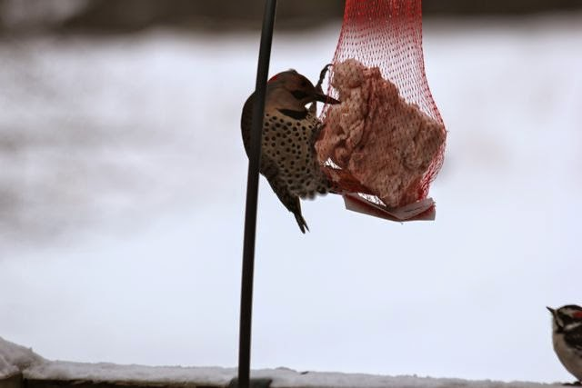 northern flicker feeding on suet