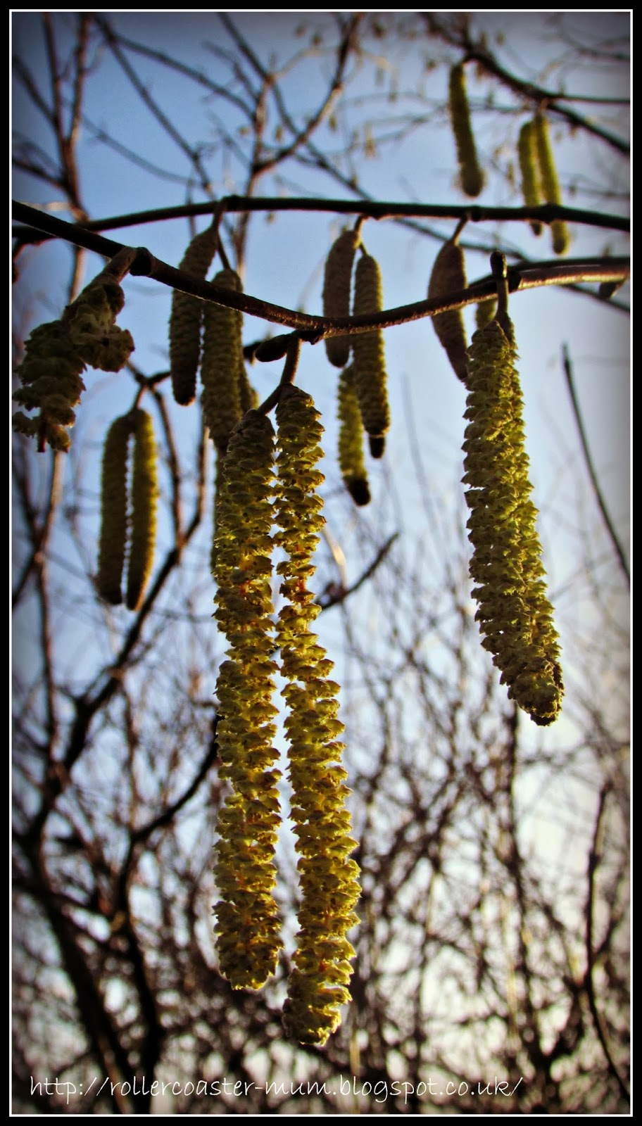 Signs of Spring - Catkins