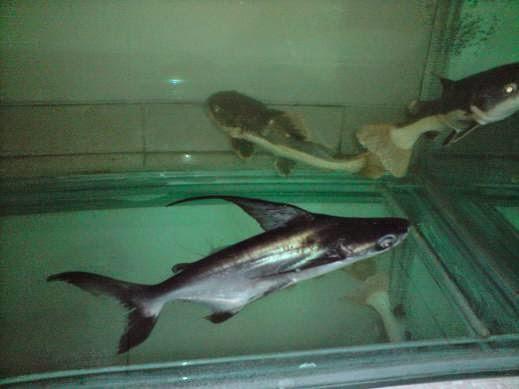 Indonesian Freshwater Fish Community Iffc Gengis Khan Hiu Air