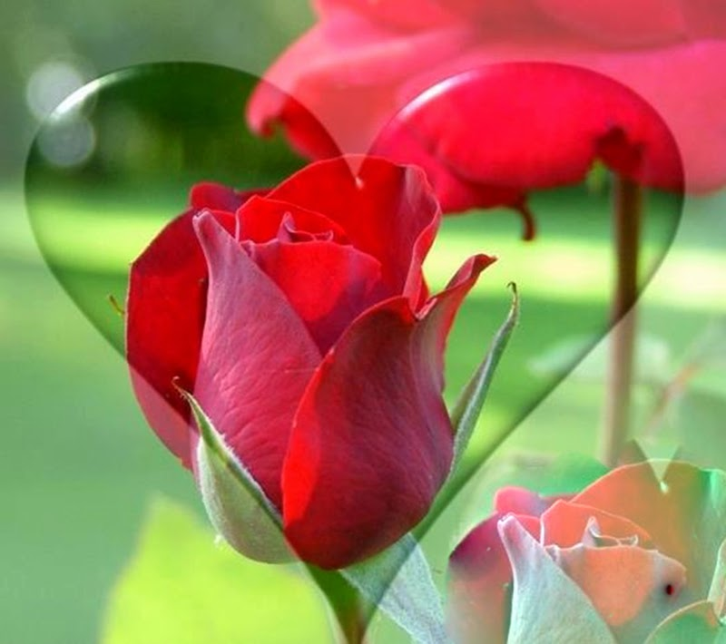 Beautiful Natural Red Rose Flowers Images Wallpapers