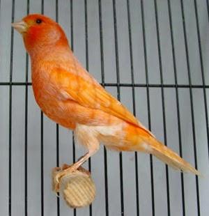 Kelebihan dan Keuunggulan Burung Kenari