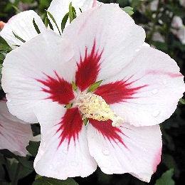 Hibiscus flore de l le de la r union for Arrosage hibiscus exterieur