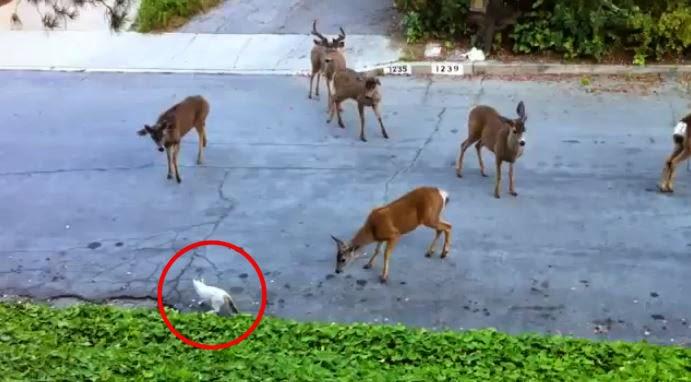 Des cerfs rencontrent un chat pour la première fois en pleine rue.