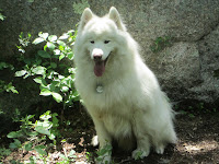 Picture of Kiko the Samoyed