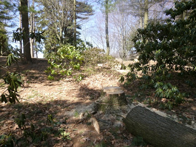 Felled pine tree and stump in rhododendron bed, Port Credit.