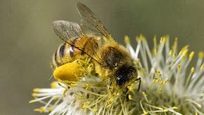 Rimedi naturali contro le punture di api e vespe