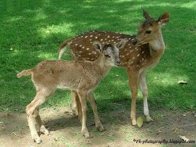 Fallow Deer-Dama dama