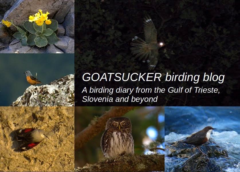 Goatsucker Birding