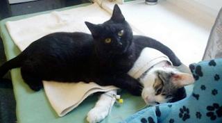 Cara Menangani Kucing yang Terluka
