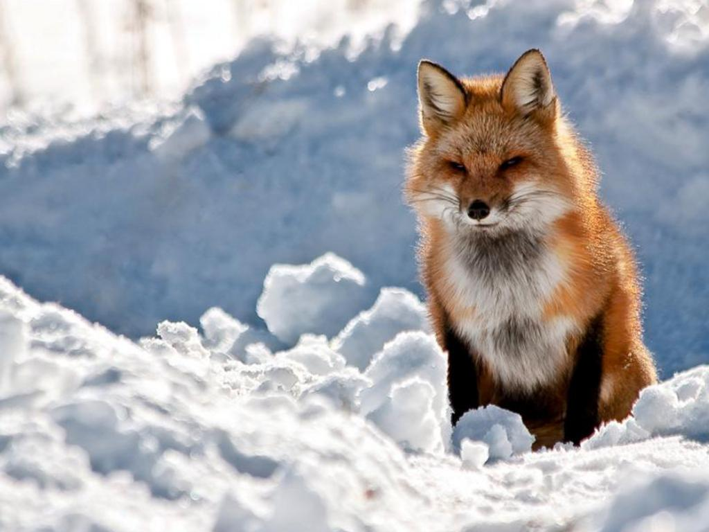 funny wallpaper red fox - photo #16