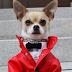 """Montjiro: O chihuahua modelo que faz sucesso com seus """"looks"""" na Internet"""